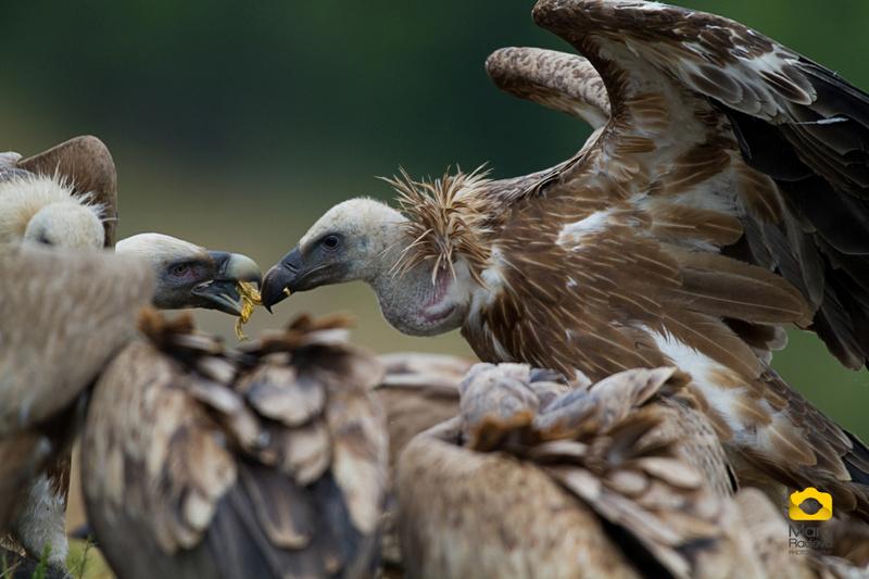 1416063419_vulture_22.jpg